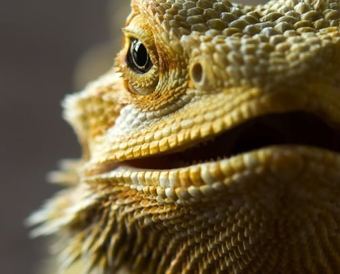 bearded dragons for sale online