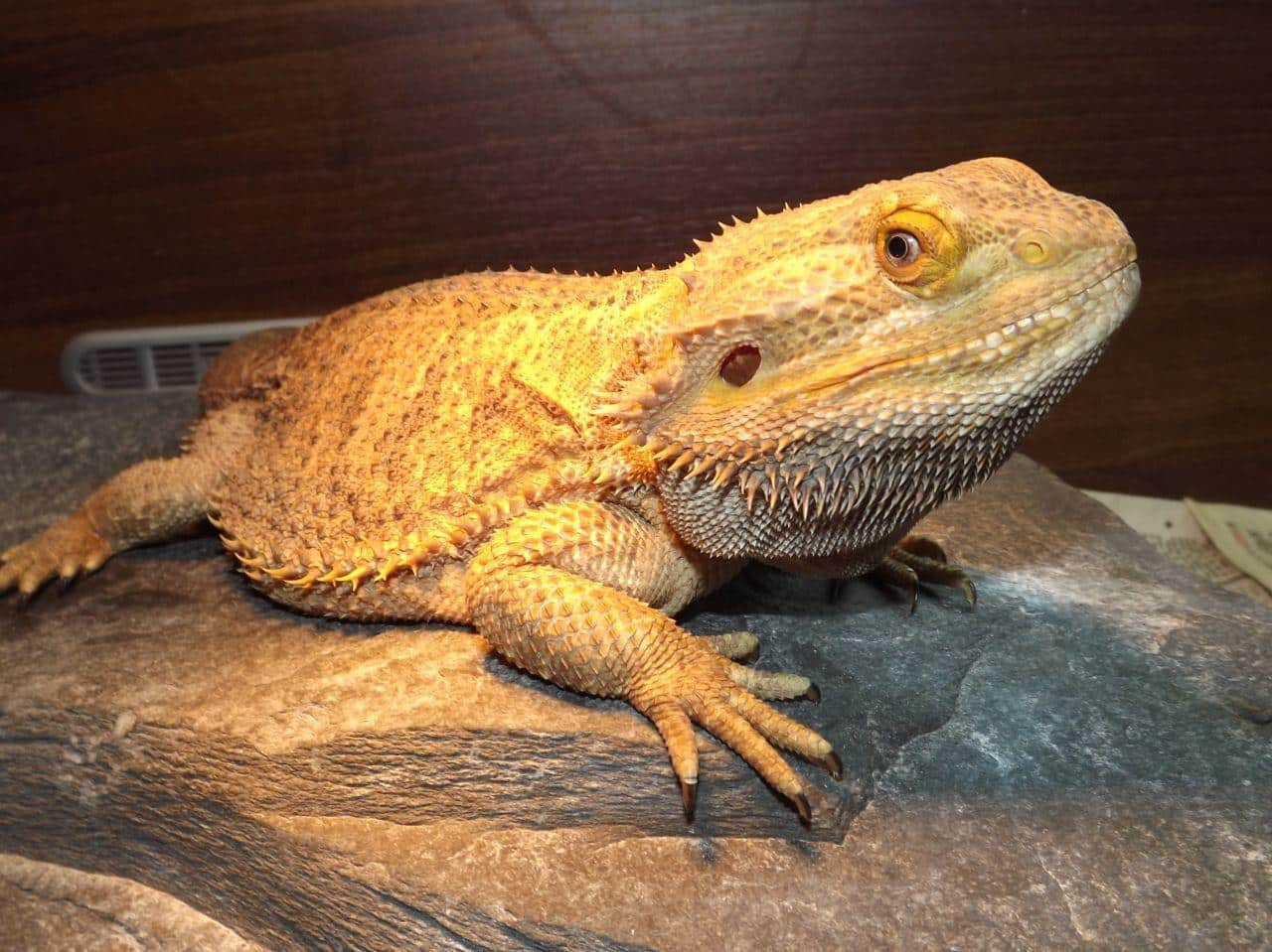 bearded dragons for sale | baby bearded dragon for sale online near me