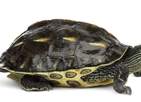 Chinese golden thread turtle for sale