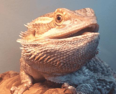 bearded dragon origin