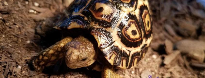 south african leopard tortoise