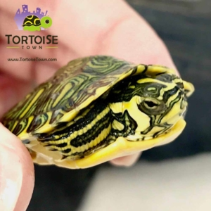 slider turtles for sale
