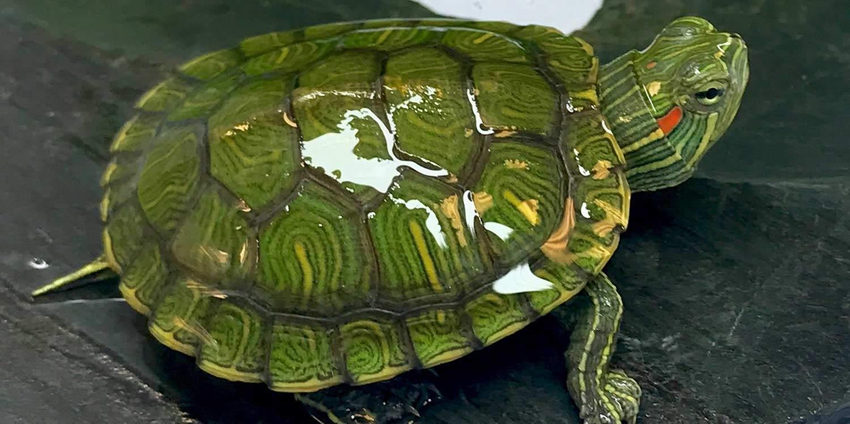 slider turtles for sale