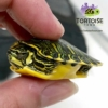 yellow bellied slider turtle for sale