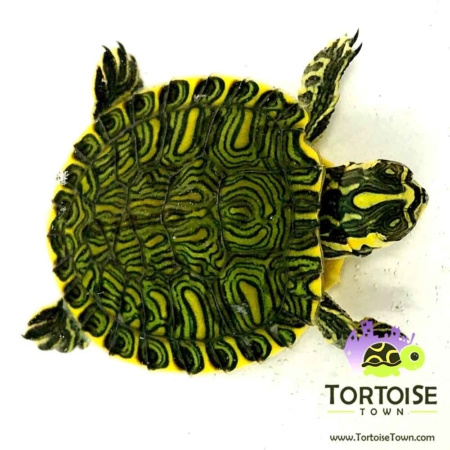 yellow belly slider turtle for sale