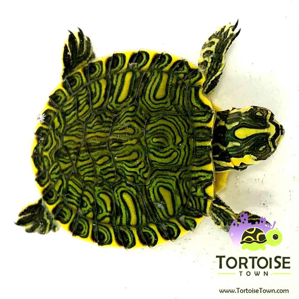 yellow bellied slider turtle