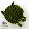 yellow slider turtle for sale
