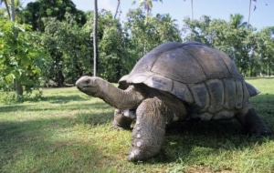 giant tortoise for sale