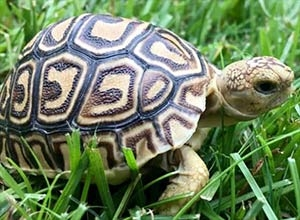 tortoise for sale online