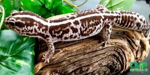 African Fat Tailed geccko morphs
