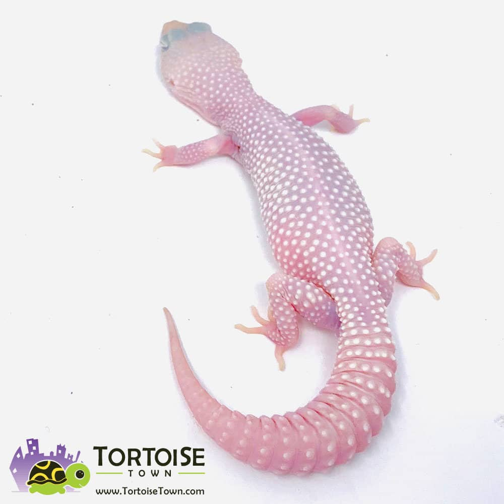 Diablo Blanco leopard geckos for sale