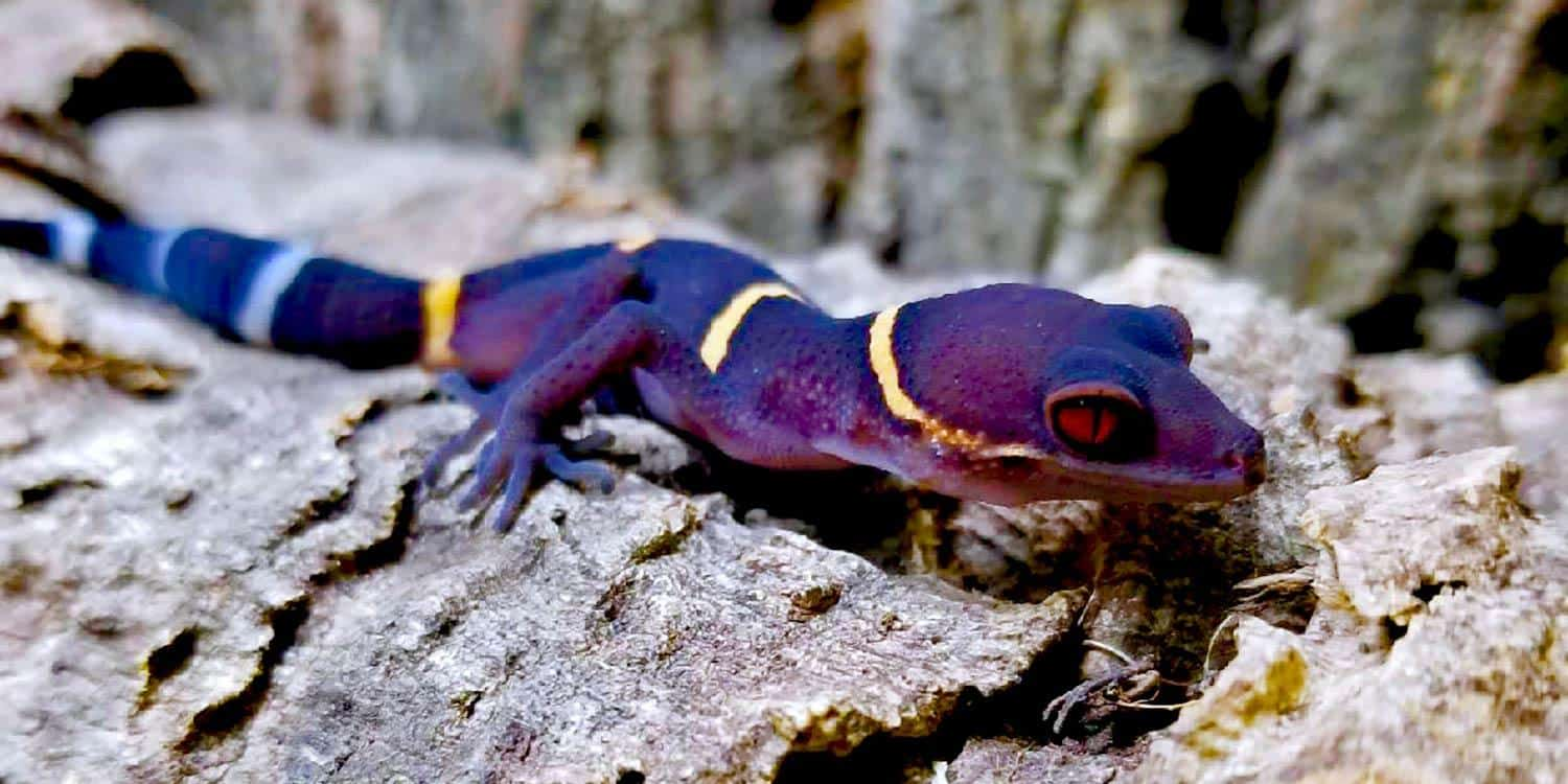 Chinese cave gecko for sale online
