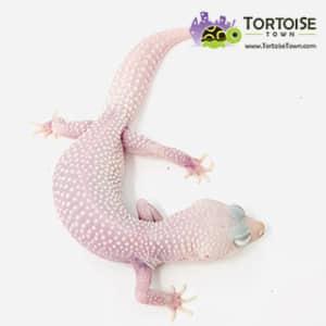 diablo blanco leopard geckos