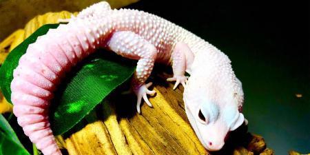 diablo blanco leopard gecko