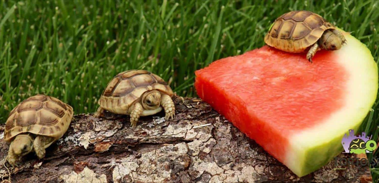 baby greek tortoise care