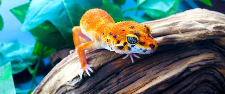 Tangerine leopard geckos for sale online buy tangerine albino