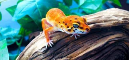 inferno leopard gecko