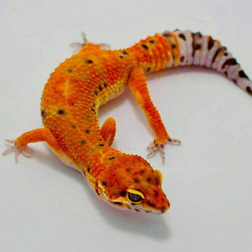 Inferno Leopard Gecko For Sale Baby Inferno Leopard Geckos