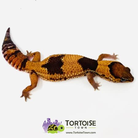 patterned fat tailed gecko