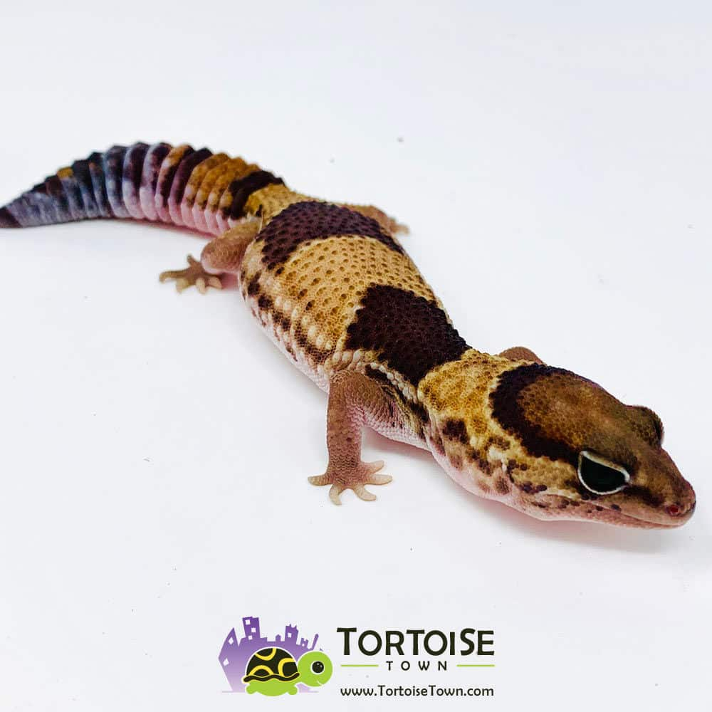 Patterned fat tailed gecko for sale