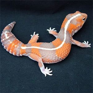 melanistic fat tailed gecko for sale