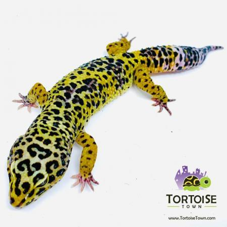 supergiant leopard gecko