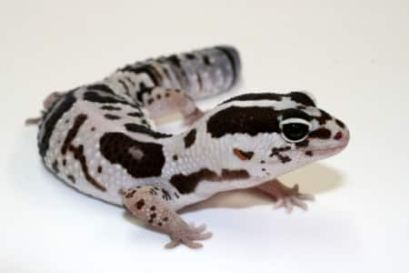 white out african fat tailed gecko