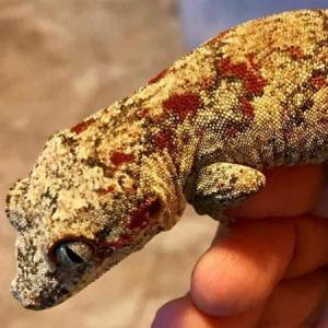 Blotched Gargoyle Geckos