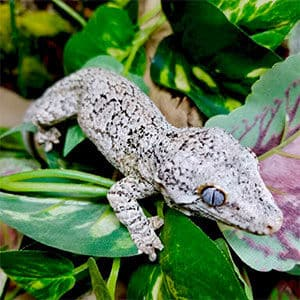 reticulated gargoyle geckos