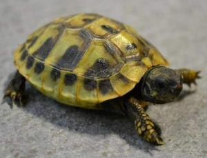 tortoise life span