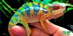 ambilobe panther chameleons