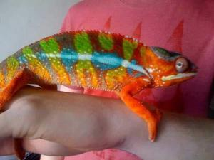 ambilobe panther chameleons for sale