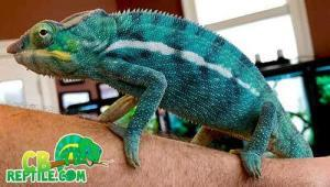 baby chameleon for sale