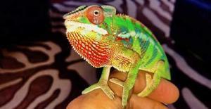 baby chameleons for sale