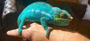 best panther chameleon breeder