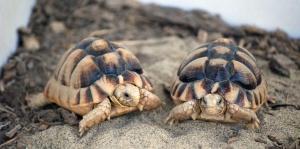 Egyptian tortoise care