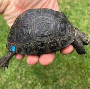 baby aldabra giant tortoise