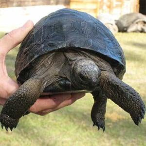 baby Aldabra tortoise care