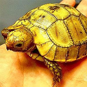 baby elongated tortoise care
