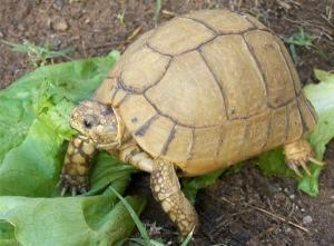 baby Egyptian tortoise care