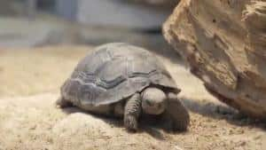 baby galapagos tortoise for sale