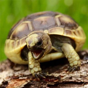 baby greek tortoise care