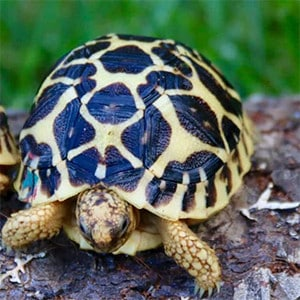 baby Indian star tortoise care