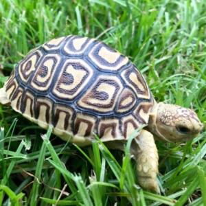 baby leopard tortoise care