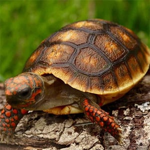 baby red foot tortoise care