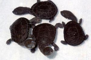 baby snake neck turtle for sale
