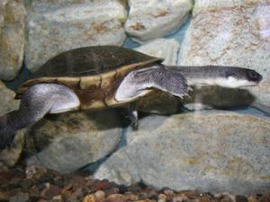 baby snakeneck turtle