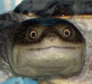 baby snakenecked turtle