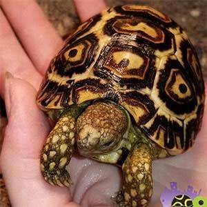 baby tortoise care sheet