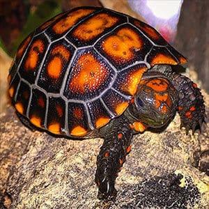 baby tortoise diet